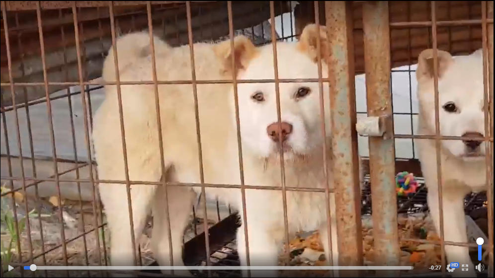 https://www.facebook.com/SaveKoreanDogs/videos/pcb.1097059810444078/1097059667110759/?type=3&theater&utm_source=sendinblue&utm_campaign=Busan_Bukbu_Office_of_Educations_response_lacks_clarity_and_transparency__Dog_meat_trade_survivors_waiting_for_home&utm_medium=email