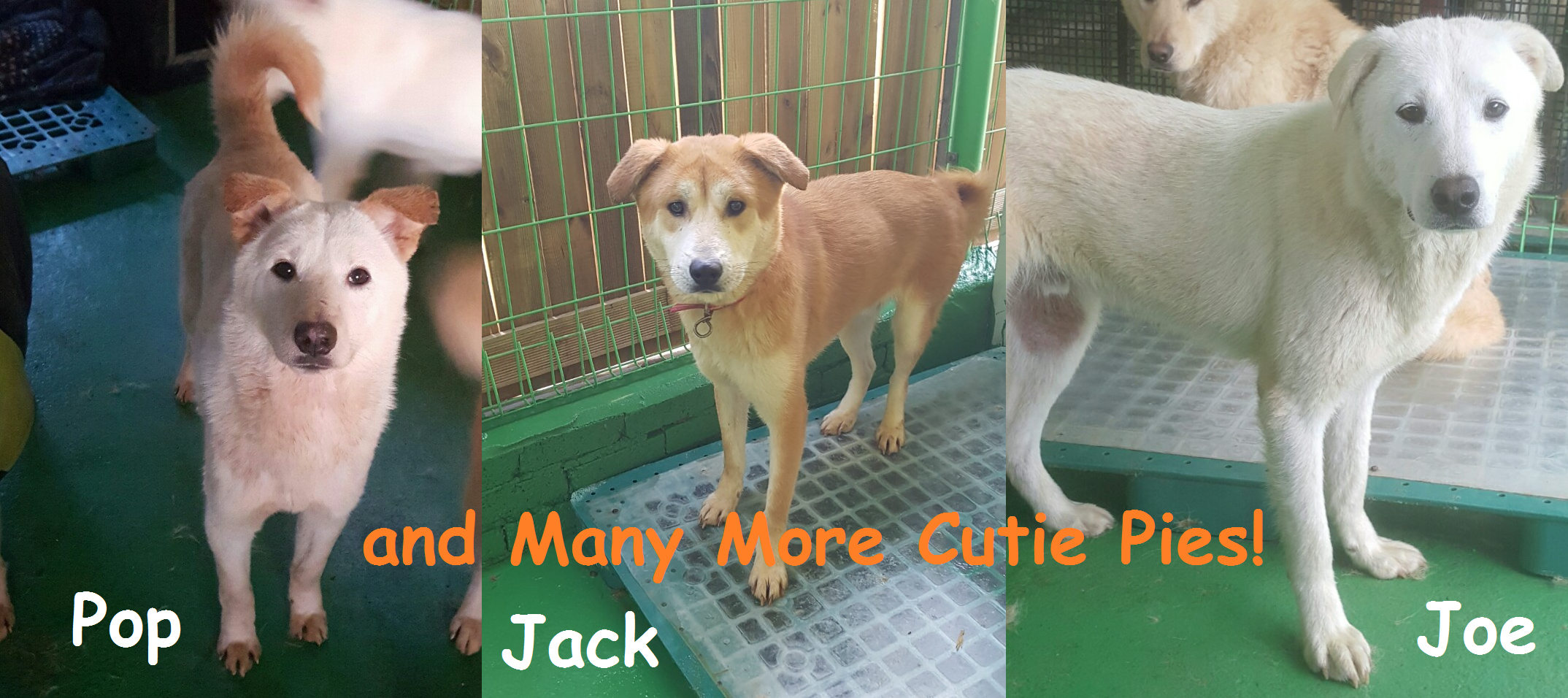 Dogs Available for Adoption