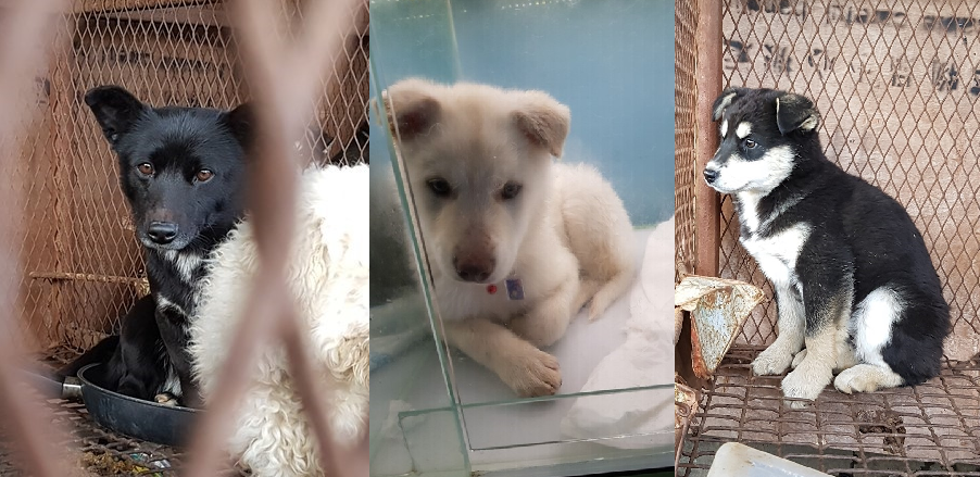 Busan KAPCA Yangsan Dog Farm Rescue Update – Large, mixed breed dogs still waiting for homes abroad.
