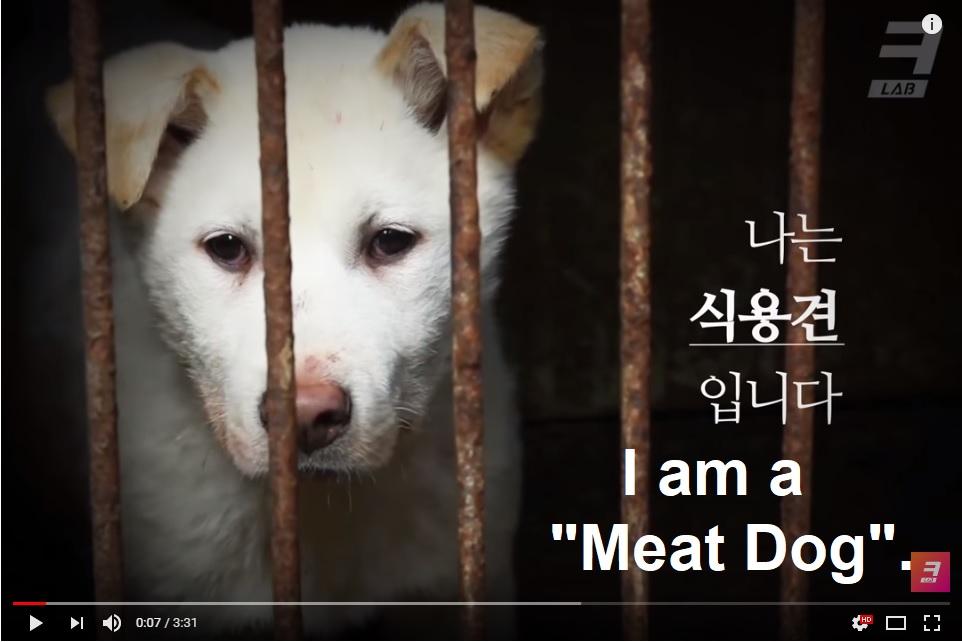 Video: South Korea's dog meat farm. 죽어야만 나갈 수 있는 곳. 식용견농장