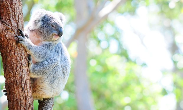 'As you may expect from a species inhabiting a crisis ecoregion, the koala is not faring so well.' Photograph: Alamy Stock Photo