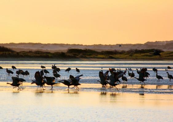 Lake Eyre Basin waterbirds