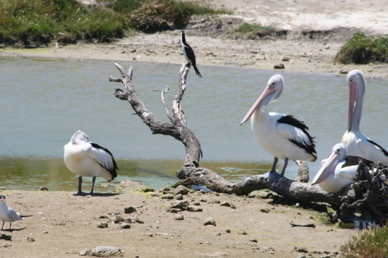 Murray-Darling pelicans - UNSW-GWI