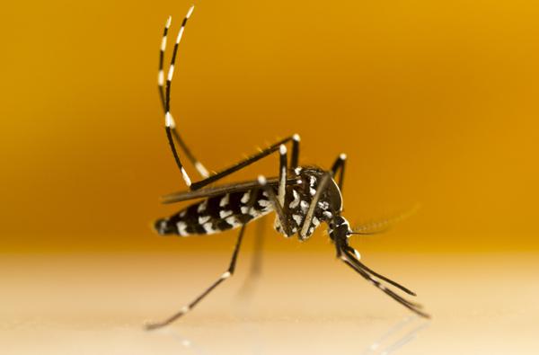 Retour du moustique tigre en France : 51 départements en vigilance rouge