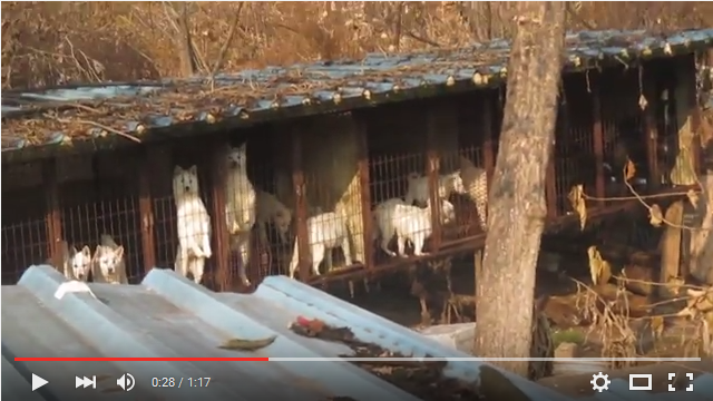 Nami Kim Team's visit to dog meat farm in Munhak-dong, Incheon, South Korea. (Farm# 4) 1