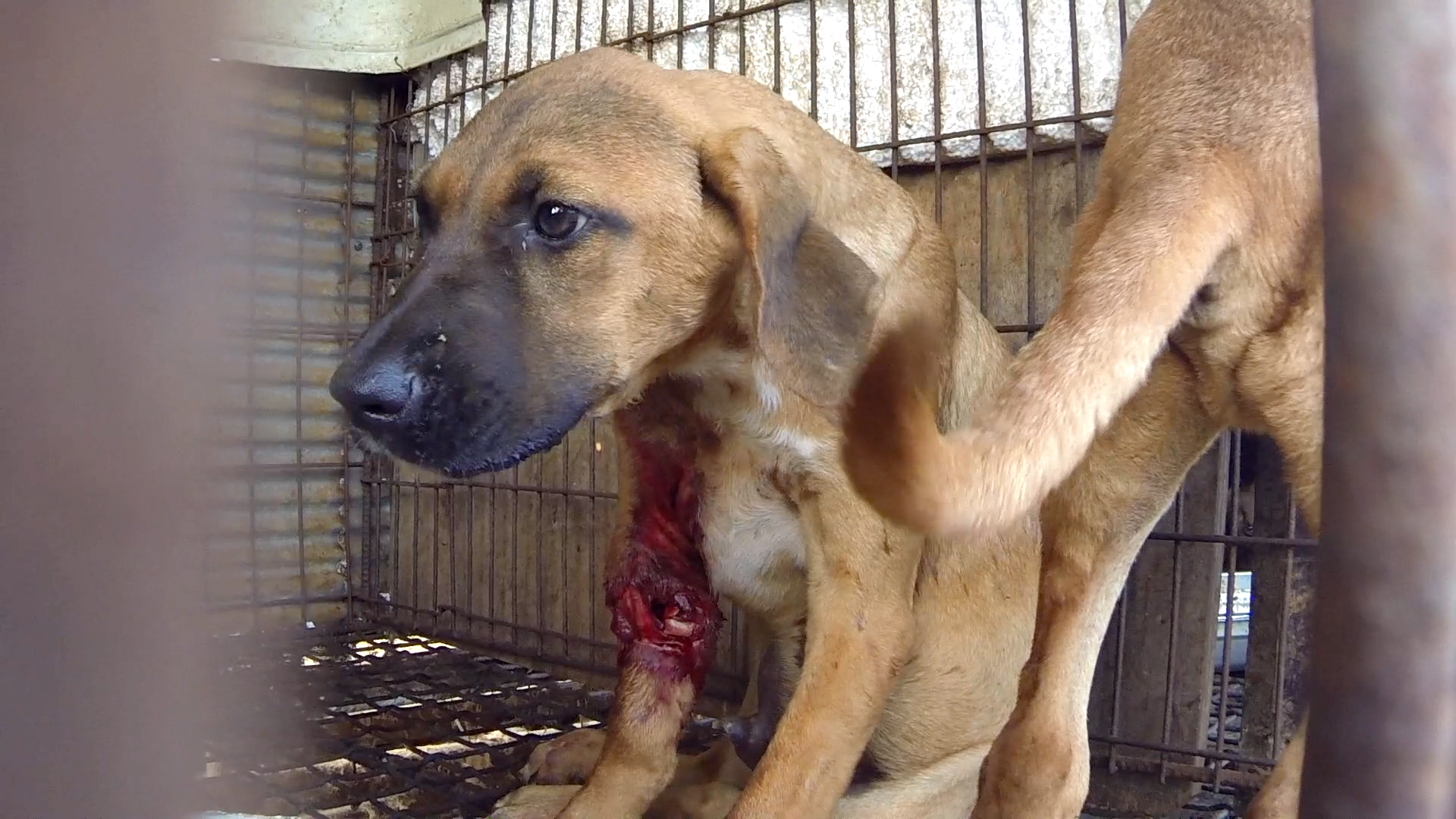"The Korea Observer's documentary ""The Dog Meat Professional: South Korea""."