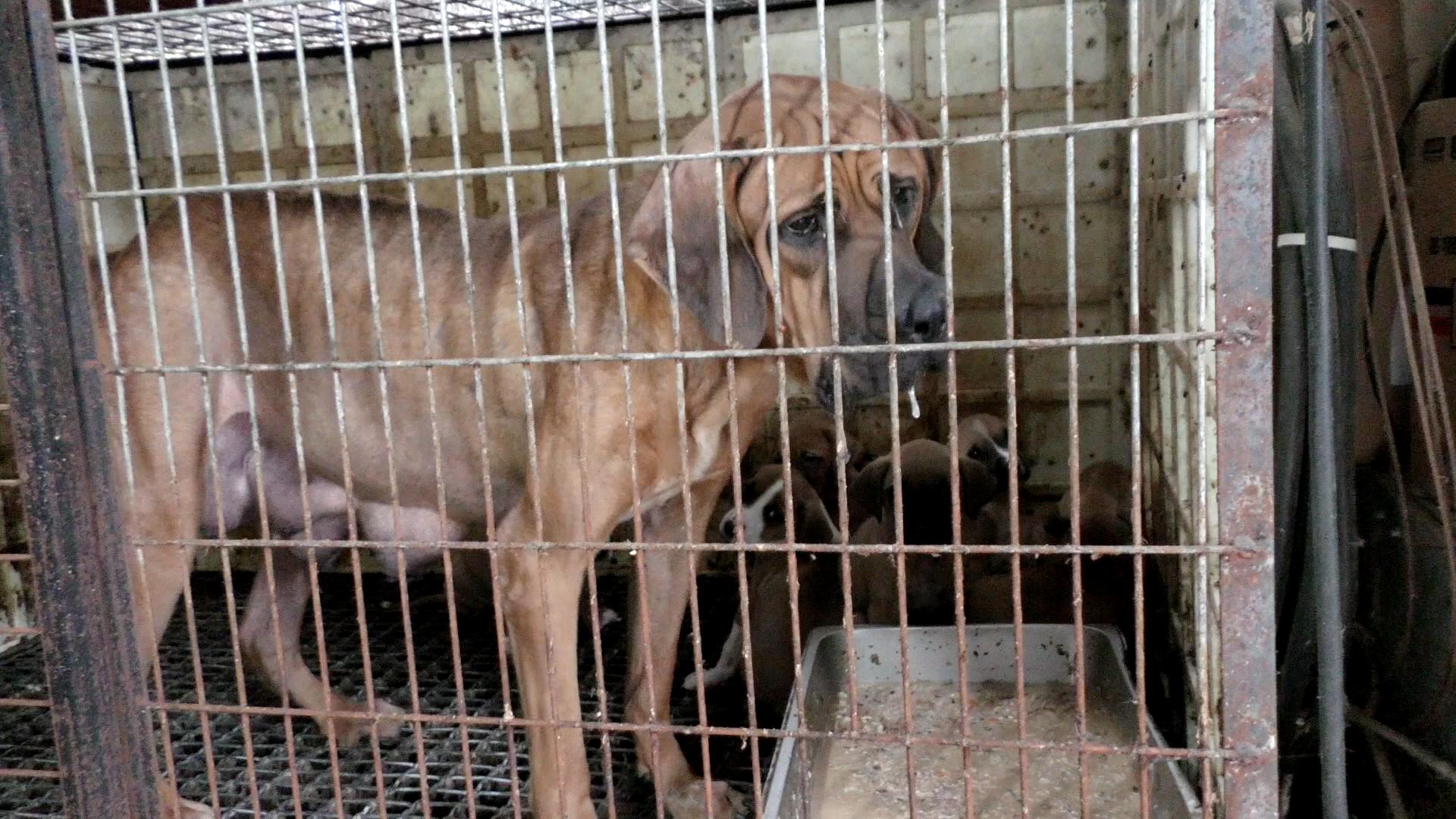 "The Korea Observer's documentary ""The Dog Meat Professional: South Korea""."