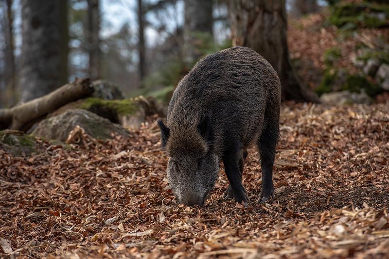 Grande faune en forêt