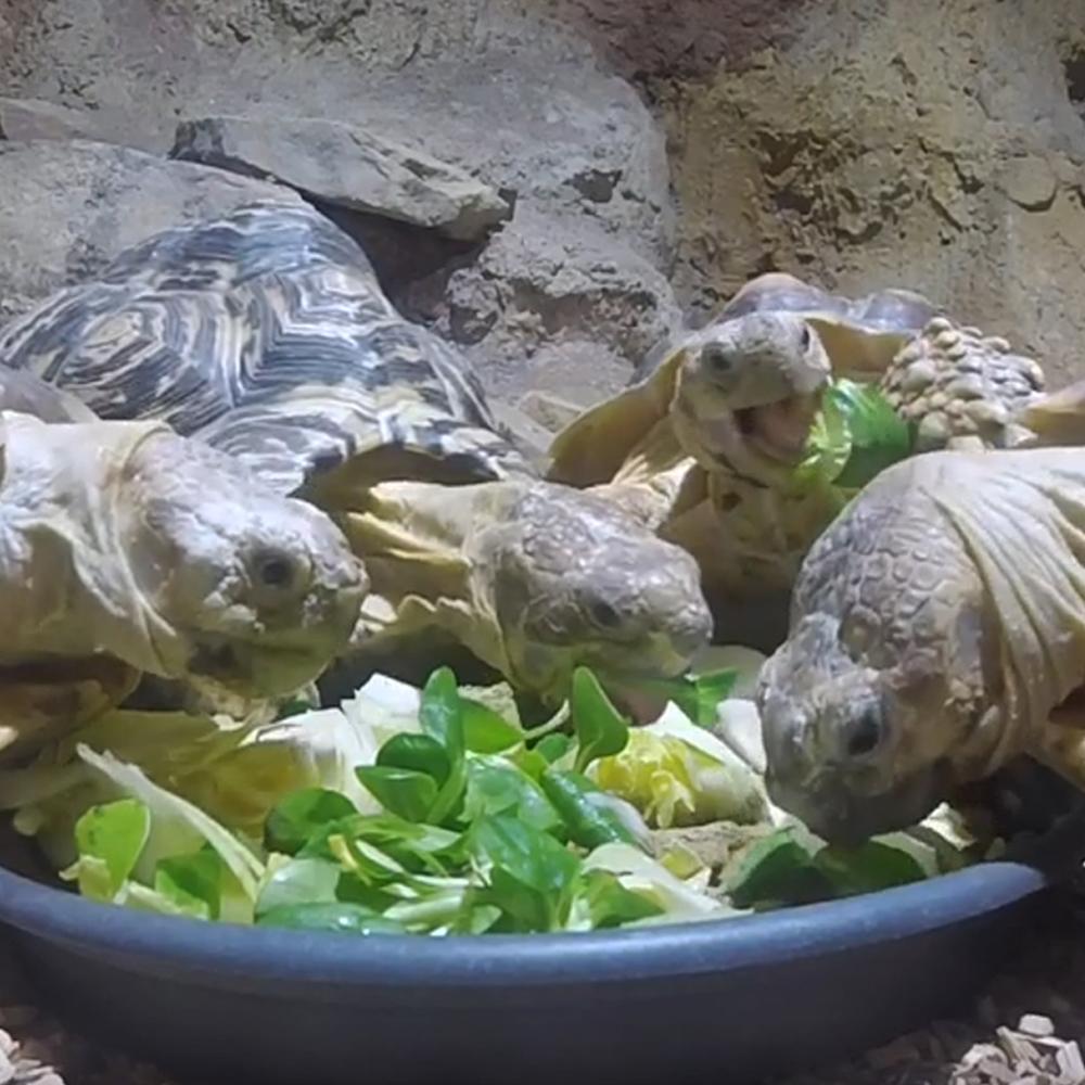 Le repas des tortues