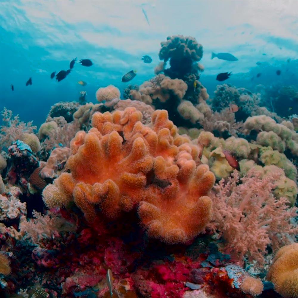 Le corail et ses zooxanthelles
