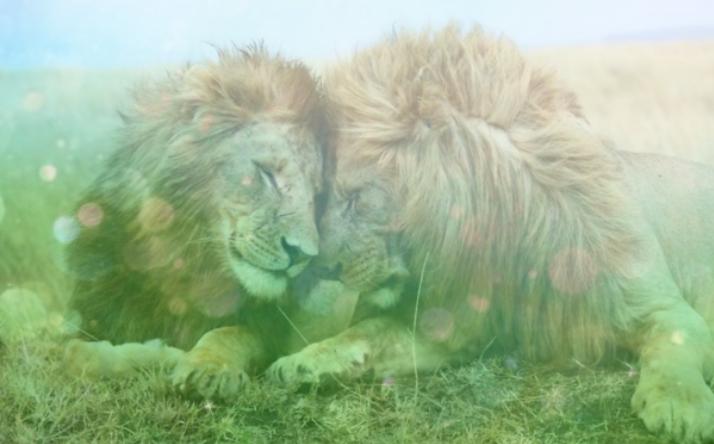 Deux lions se faisant un câlin